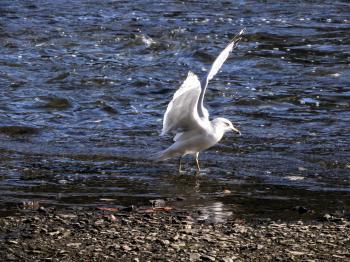 Oiseau (Goéland À Bec Cerclé) 052