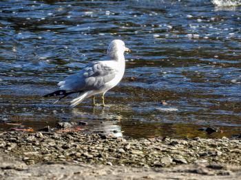 Oiseau (Goéland À Bec Cerclé) 053