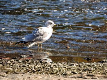 Oiseau (Goéland À Bec Cerclé) 055