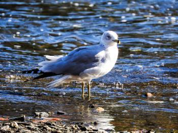 Oiseau (Goéland À Bec Cerclé) 057