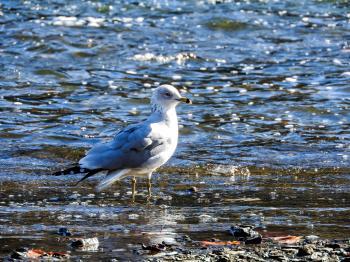 Oiseau (Goéland À Bec Cerclé) 058
