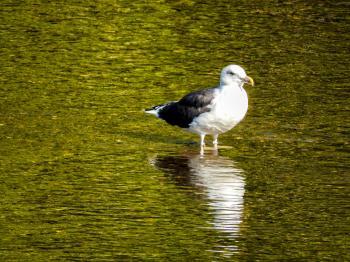 Oiseau (Goéland Marin) 020
