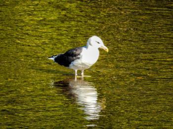 Oiseau (Goéland Marin) 021