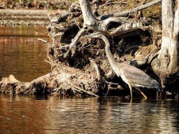 Oiseau (Grand Héron) 192