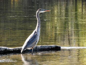 Oiseau (Grand Héron) 248