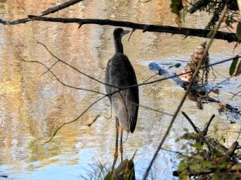 Oiseau (Grand Héron) 254