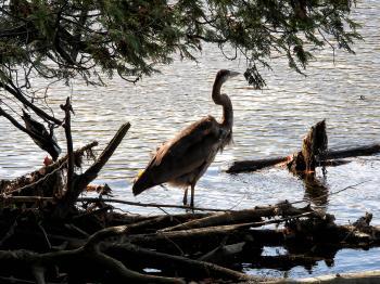 Oiseau (Grand Héron) 301