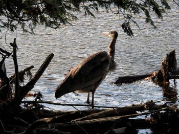 Oiseau (Grand Héron) 302