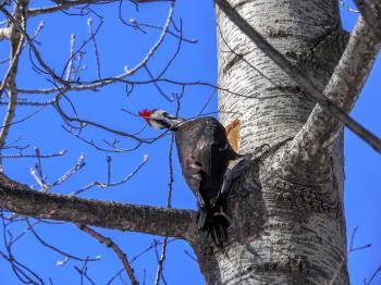 Oiseau (Grand Pic) 002