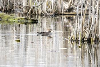 Oiseau (Harle Couronné) 075