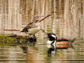 Oiseau (Harle Couronné) 076