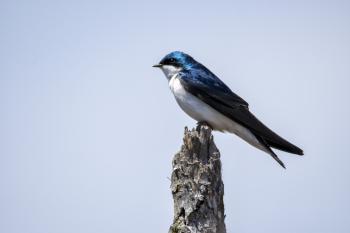 Oiseau (Hirondelle Bicolore) 260