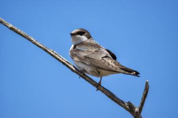 Oiseau (Hirondelle Bicolore) 294