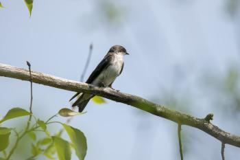 Oiseau (Hirondelle Bicolore) 304