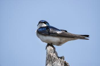 Oiseau (Hirondelle Bicolore) 305