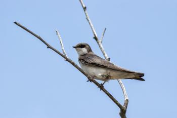 Oiseau (Hirondelle Bicolore) 306