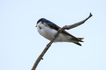 Oiseau (Hirondelle Bicolore) 316