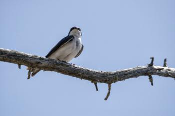 Oiseau (Hirondelle Bicolore) 322