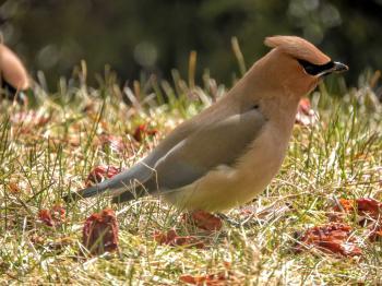 Oiseau (Jaseur D'Amérique) 482
