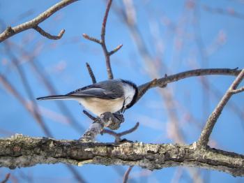 Oiseau (Mésange À Tête Noire) 172
