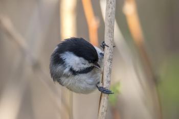 Oiseau (Mésange À Tête Noire) 217