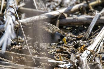 Oiseau (Marouette De Caroline) 002