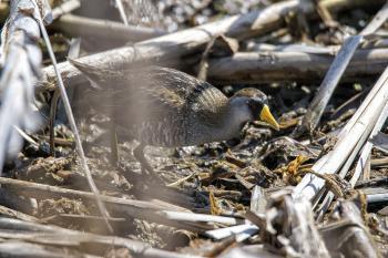 Oiseau (Marouette De Caroline) 003