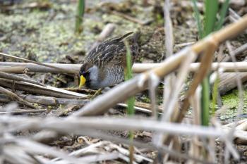 Oiseau (Marouette De Caroline) 019