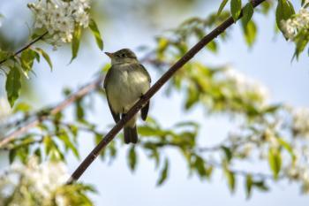 Oiseau (Moucherolle À Ventre Jaune) 009