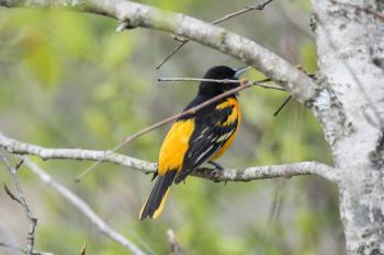 Oiseau (Oriole De Baltimore) 111