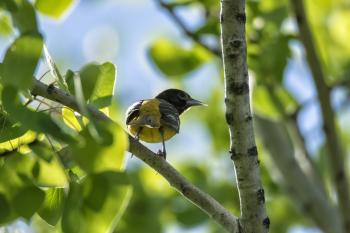 Oiseau (Oriole De Baltimore) 235