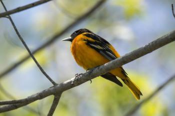 Oiseau (Oriole De Baltimore) 268