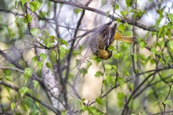 Oiseau (Oriole De Baltimore) 281