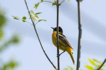 Oiseau (Oriole De Baltimore) 291