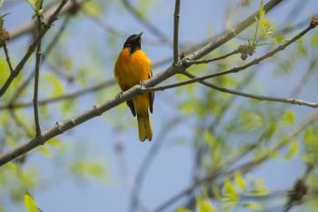 Oiseau (Oriole De Baltimore) 294