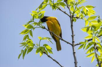 Oiseau (Oriole De Baltimore) 310