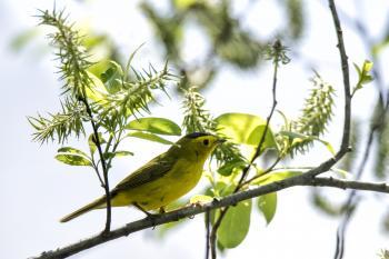 Oiseau (Paruline À Calotte Noire) 006