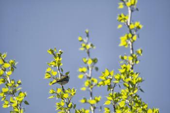 Oiseau (Paruline À Collier) 004