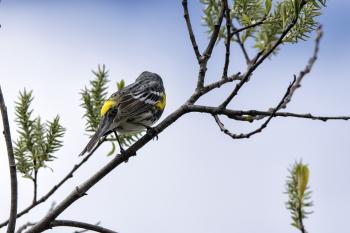 Oiseau (Paruline À Croupion Jaune) 120