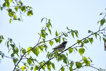 Oiseau (Paruline À Croupion Jaune) 184