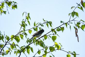 Oiseau (Paruline À Croupion Jaune) 185
