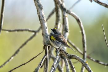 Oiseau (Paruline À Croupion Jaune) 196