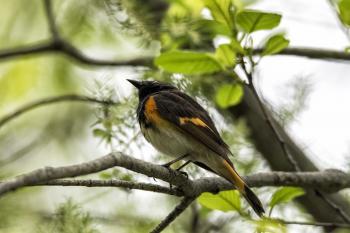 Oiseau (Paruline Flamboyante) 045