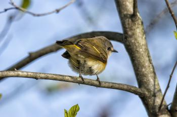 Oiseau (Paruline Flamboyante) 139