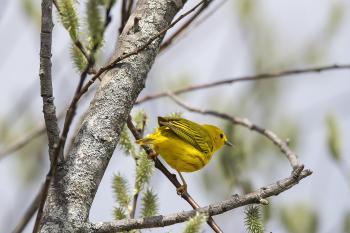 Oiseau (Paruline Jaune) 124