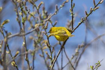 Oiseau (Paruline Jaune) 131