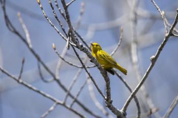 Oiseau (Paruline Jaune) 139