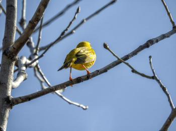 Oiseau (Paruline Jaune) 145