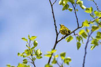 Oiseau (Paruline Jaune) 149