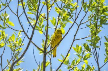 Oiseau (Paruline Jaune) 176